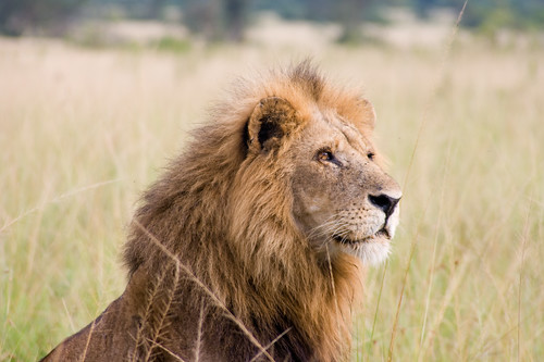 A lion in Ishasha wildlife reserve, Uganda