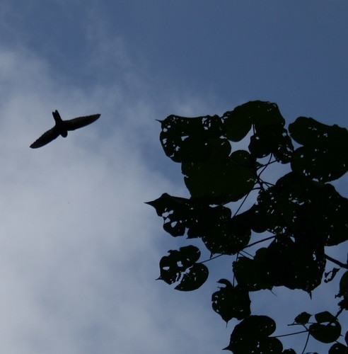 Caroline Islands Swiftlet