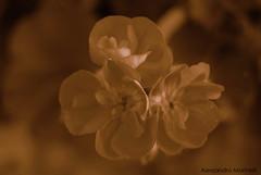 Seppia (Alessandro Marinelli) Tags: fiori seppia