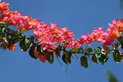 IMG_3435 (jozef muylle) Tags: flowers philippines natuur bloemen filippijnen