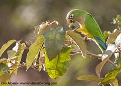 Cactus Parakeet_Aratinga cactorum