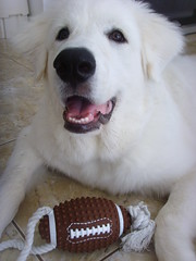 New Toys 8 (PolothePup) Tags: dog puppy great polo pyrenees greatpyrenees