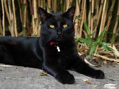 Pip and bamboo (Jan Gee) Tags: pet cats black cat chats katten kat feline chat noir kitty gatos olympus gato pip gata katze zwart gatto katzen negra poes schwarz kot 43 noire fourthirds gattos