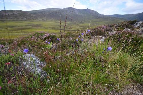 Blue Harebells and Beinn A'Bhuird