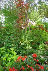 'Autumn Embers' Encore azalea in woodland glade with 'Electric Lime' coleus and variegated ginger (pawightm (Patricia)) Tags: autumn austin garden backyard texas japanesemaple acerpalmatum backyardgarden shadegarden encoreazalea woodlandglade evergreenazalea deciduoustreecanopy pawightm autumnembers ss852333