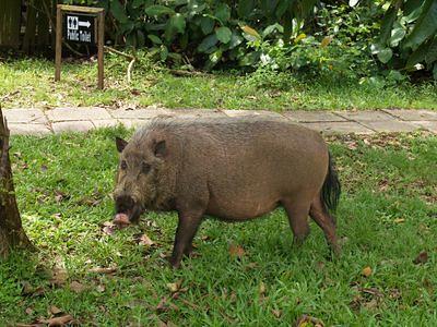 Bako wild pig