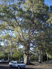 The tree is mightier than the car (danimations) Tags: park car giant adelaide sa majestic gumtree enormous kensingtonpark