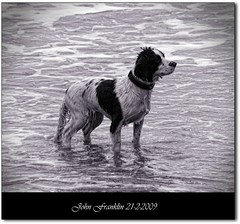 Wet dog (bonksie61) Tags: sea dog white black wet water fur framed date picnik signed ithinkthisisart almostanything allin1 anythingdigital unlimitedphotos novaphoto oltusfotos