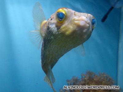Colourful puffer fish