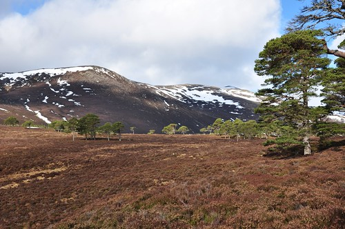 Derry Cairngorm from the pine wood