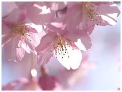 Cherry blossoms 090305 #06