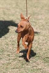 IMG_2664 (hector.acuna) Tags: arizona dog phoenix animal canine perro scottsdale dogshow akc conformation petphotography showdog valleyofthesun hectoracuna petpicsazcom