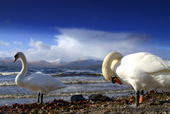 Swantastic......... (Nicolas Valentin) Tags: cloud mountain storm bird water scotland swan scenery close loch lochlomond cumulonimbus mywinners colorphotoaward mwaahhh