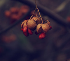 ([jilleydarling]) Tags: macro backyard berries alle