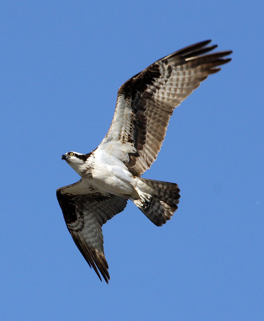 Welcome to Osprey Land USA! Right Here In Brandon, FL!