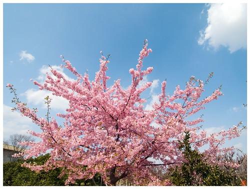 Cherry Blossom 090310 #02