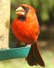 Red Bird (Male Cardinal) ............. 3-11-09 (Moon Shine Photography) Tags: red male nature sunshine birds cardinal feeder whatilove bestofthebest redbird anycoloryoulike bej beautifulbirds robbinsegg crystalaward top20red amazingamateur ♥~♥florayfauna♥~♥ ~mononoaware~ allbirdsallthetime damniwishidtakenthat that'sgettingupclose worldnaturewildlifecloseup mariposasflorayfauna dragondaggerphoto acesforbases