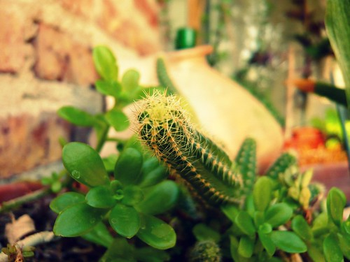 cactus de Nonina