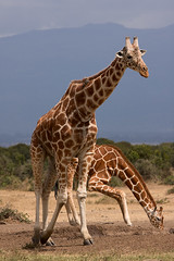 Giraffes (Wild Dogger) Tags: africa travel nature animals tiere wildlife urlaub natur safari afrika giraffe mammals 2009 kenia sweetwater herbivore eastafrica ostafrika reticulatedgiraffe sugetier giraffidae pflanzenfresser netzgiraffe giraffacamelopardalisreticulata thomasretterath