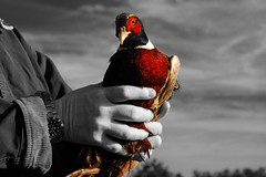 2009:03:21__08:49:30 (MilkaWay) Tags: blackandwhite male hands pheasant jersey 365 2009 day80 selectivecolor aphotoaday waltoncounty trainingday pheasanthunting ruralgeorgia navhda p3652009 march212009 buckeyesplantation pheasanttracking