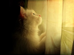 Freedom's call (Mahmoud.M) Tags: light window cat curtains dsc locus w300 mahmoudmostafa mwqio