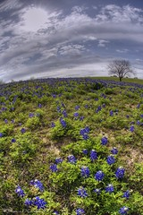 Texas Bluebonnets (Shawn O'Connell Photography) Tags: blue sun flower color green clouds landscape nikon texas fisheye wildflower hdr bluebonnets texaswildflower d90 statefloweroftexas top20texas bestoftexas thebestofnikon shawnoconnell shawnoconnellphotography