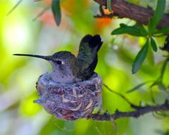 nesting Black-chinned Hummingbird (wplynn) Tags: nest humming bird hummer hummingbird arizona sonoran desert firstsignofspring greenvalley archilochus alexandri blackchinned