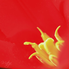 Attracting attention (* mateja *) Tags: flower macro mateja awesomeshot macroflowerlowers happyscarletsunday redtilup