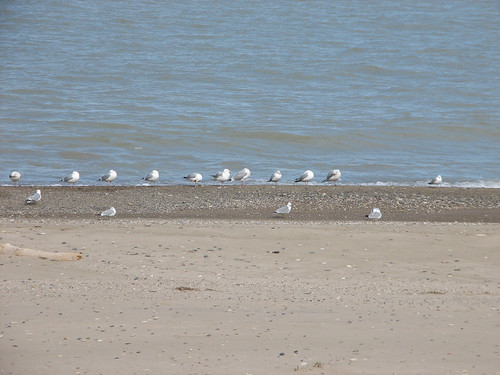Illinois Beach State Park gulls