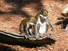 dhh bf (dmathew1) Tags: tampa florida lowryparkzoo babywhitetiger babymandrill babyorangatun babycolobusmonkey babyguenon
