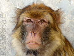 The Thrill Is Gone (flipkeat) Tags: portrait animal closeup mammal monkey awesome ape primate torontozoo monkeyface macaque vulnerable barbary metrotorontozoo macaca barbarymacaque berberaffe sylvanus goldstaraward dsch50 vosplusbellesphotos monodeberberea