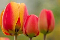Looking up to the Flowers (dj.bp) Tags: red flower nature lens spring seasons bokeh sony vivid tulip bloom sal 70300 70300g a700 sonyalpha sal70300g