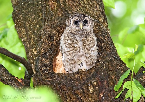 barred-owl-chick-in-rain