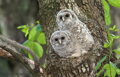 barred-owl-chicks