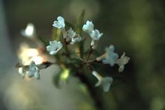 Little Flowers (fs999) Tags: film canon slide slidefilm a1 filmcamera agfa fd reversible agfachrome seriesi vivitar70210 masterphotos ashotadayorso macrolife topqualityimage topqualityimageonly fs999 vivitarseriesi70210mmf35macro