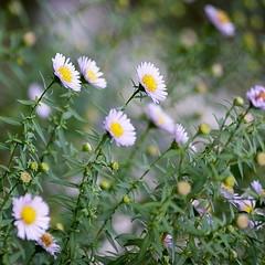 Something beautiful to start the week (RachaelMc) Tags: flowers beautiful garden asters naturesfinest bej brillianteyejewel rachaelmc rjmcdiarmid