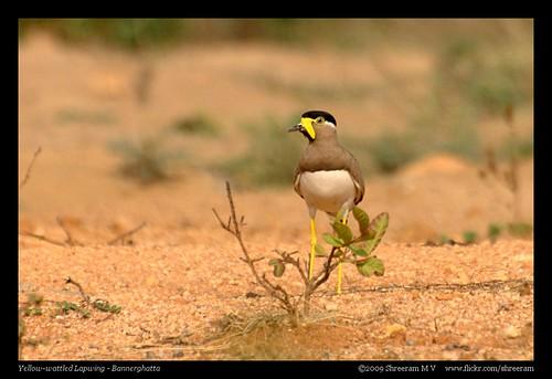 Yellow-wattled Lapwing 2