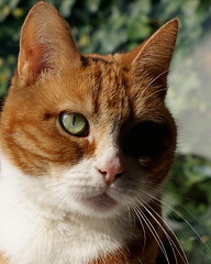 One Eyed Jack(ie) (Cajaflez) Tags: portrait orange pet cute eye cat oscar kat chat gato katze portret gatto poes oog kissablekat bestofcats catmoments 100commentgroup saariysqualitypictures surrealleous mmmilikeit newgoldenseal