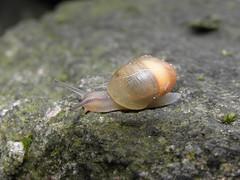 snail (AnnieP.) Tags: blue sea summer orange brown lake green nature water grass stone river see klein wasser small natur snail gras braun creature stein schnecke kreatur weiher watersnail wasserschnecke grpn