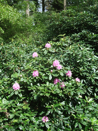 rhodendendrons