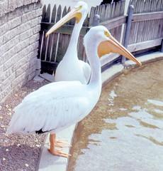 Pelecanus erythrorhynchos 9-19-82 (clkayleib) Tags: louisvillezoo pelicanidaepelicans