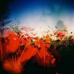 Alive (Fabienne Lin) Tags: life flowers red sky 120 film nature holga lomo lomography flora blossom vivid double squareformat alive cosmos myfave blooming rvp fujivelvia 120gcnf holga120gcnf theartlair  double