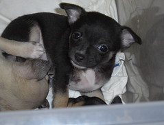 Chica (cerberus_arstd) Tags: dog chihuahua cute dogs puppy puppies chica chihuahuas zuzu cujo