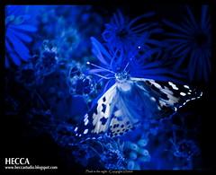 Flash in the night - Destello en la noche (Heccastudio / I see you soon) Tags: barcelona flowers blue espaa flores color colour azul canon butterfly eos rebel spain catalonia catalunya mariposa hdr duotono xti flashinthenight bitono destelloenlanoche