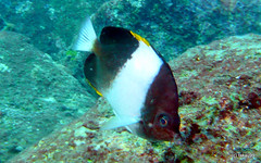Brown-and-white butterflyfish - Similan, Thailand (_takau99) Tags: ocean trip travel sea vacation holiday fish macro uw nature water topv111 lumix islands asia underwater wildlife indianocean may scuba diving panasonic thai scubadiving blackpyramid 2009 similan andaman andamansea butterflyfish similanislands brownandwhite zoster takau99 chaetodontidae edive dmcfx30 brownandwhitebutterflyfish blackpyramidbutterflyfish sharkfinreef hemitaurichthys similan3 hemitaurichthyszoster