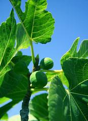 fig (Viva❀La❀Vida) Tags: blue verde green azul fig grün blau higo feige