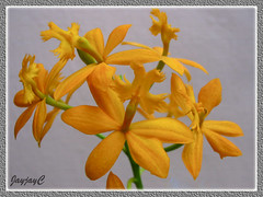 An orange Epidendrum x obrienianum, a hybrid of E. ibaguense and E. evectum (Crucifix Orchid, Reedstem Epi) in our garden, May 29 2009