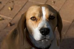 Holly Beagle (Geoff Main) Tags: dog beagle australia holly canberra act canon30d canonef70200mmf4lisusm