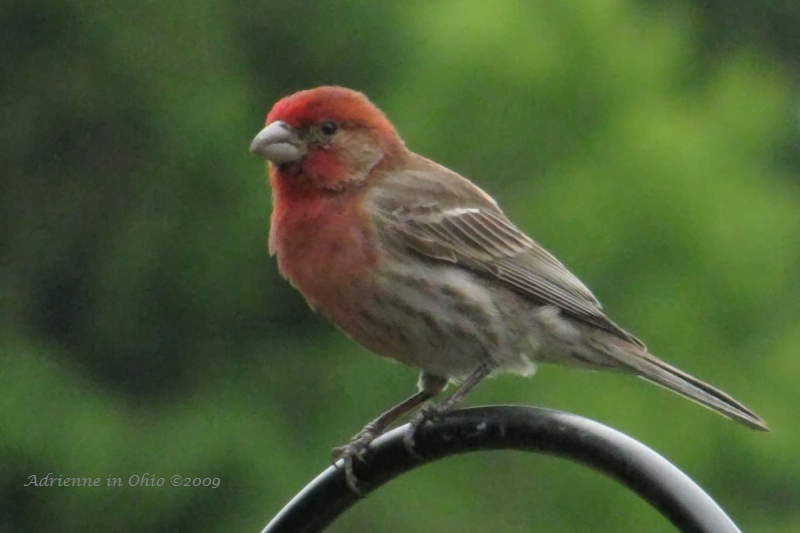 house finch photo by Adrienne in Ohio