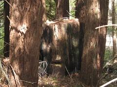 \'Fairy ring\' of Redwoods